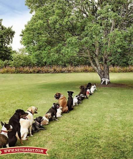 سگ كشی پیت بول آپارات سرویس و سگهای مودب صف کشیده اند تا یک