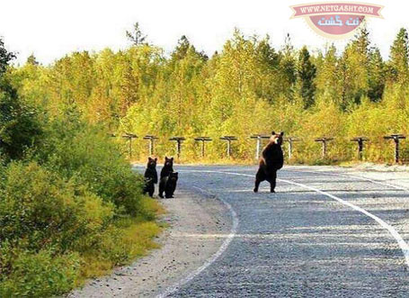 وقتی که سرویس مدرسه بچه خرس ها دیر می کنه - عکس