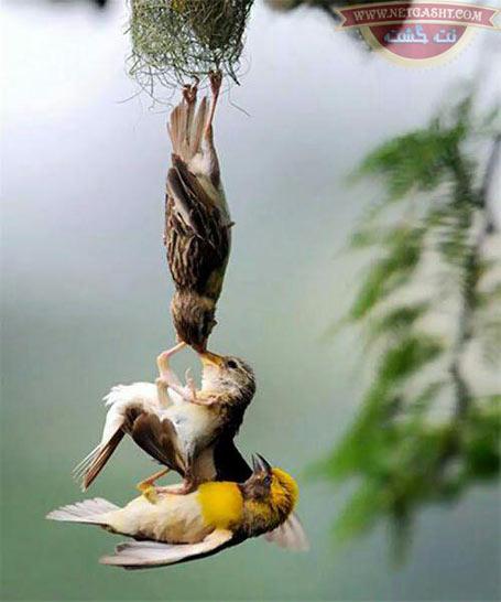 عکسی از شکار لحظه نجات جوجه پرنده توسط والدینش