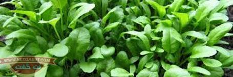 روش کاشت سبزیجات در خانه و آپارتمان: ریحان و شاهی