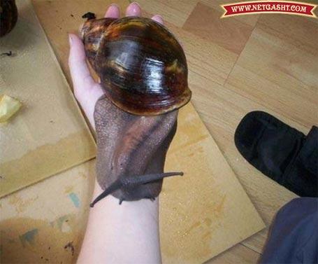 عکسی از بزرگترین و عظیم الجثه ترین حلزون دنیا