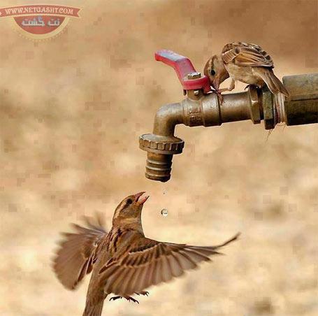 تصویر زیبای حیات وحش و شهرنشینی - آب خوردن گنجشک ها از شیر آب