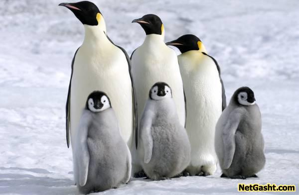 چرا پنگوئن  ها با هوای سرد قطب سازگاری دارند؟