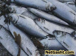 دلیل بوی تند و زننده ماهی ها