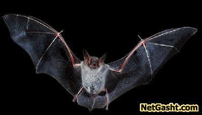 چگونگی پرواز خفاش ها در شب؟